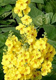 Verbascum 'Lemon Sorbet'