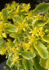 Sedum kamtschaticum 'The Edge'
