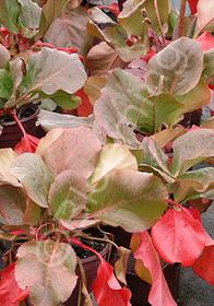 Bergenia hybrida 'Morning Splendor'
