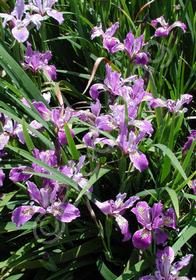 Iris Pacific Coast 'Lavender'