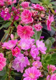 Lewisia longipetala x cotyledon 'Little Plum'