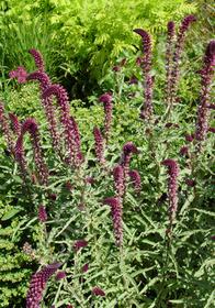 Lysimachia atropurpurea 'Beaujolais'