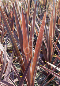 Cordyline australis 'Midnight'