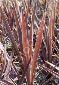 Cordyline australis 'Midnight'