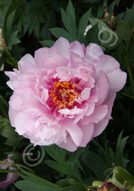 Paeonia x 'Itoh First Arrival'