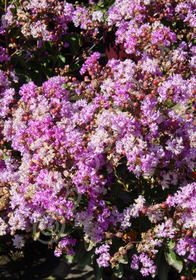 Lagerstroemia indica 'Dwarf Purple'