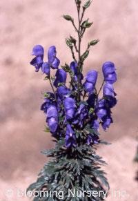 Aconitum x cammarum 'Bressingham Spire'