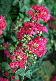 Lagerstroemia indica 'Dwarf Red'