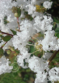 Lagerstroemia indica 'Dwarf White'