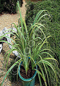 Carex trifida 'Rekohu Sunrise'