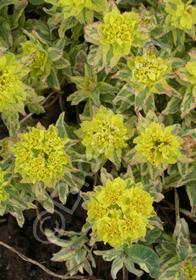 Euphorbia polychroma 'Lacy'