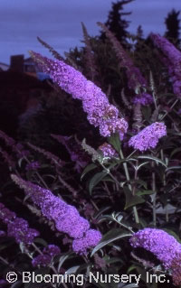 Buddleia davidii 'Orchid Beauty'