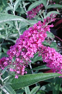 Buddleia davidii 'Summer Beauty'