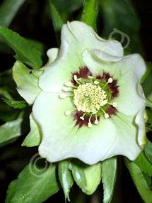 Helleborus x hybridus 'Mardi Gras Green'