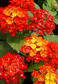 Lantana camara Florida Red Mound