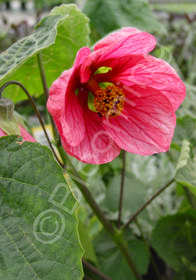 Abutilon 'Strybing Red'
