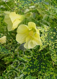 Abutilon pictum 'Thompsonii Yellow'