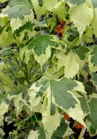 Abutilon x hybridum 'Savitzii'