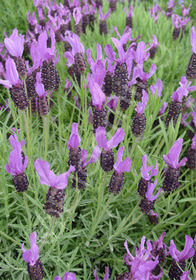Lavandula stoechas 'Wings of Night'