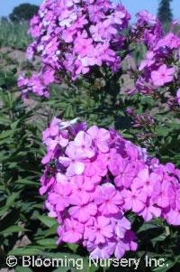 Phlox paniculata 'Robert Poore'