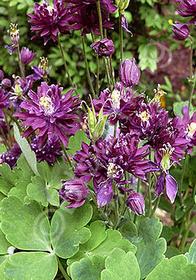 Aquilegia vulgaris 'Clementine Dark Purple'