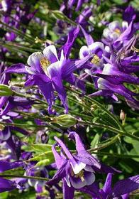 Aquilegia 'Winky Purple-White'