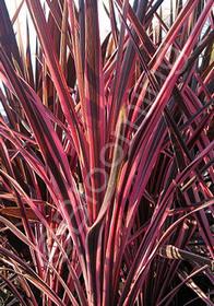 Cordyline australis 'Southern Splendor'