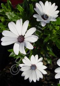 Osteospermum 'Brightside'