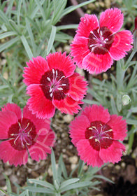 Dianthus 'Eastern Star'