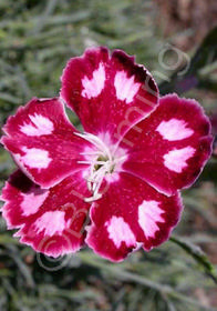 Dianthus 'Spangled Star'