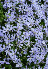 Pratia pedunculata 'Celestial Spice'