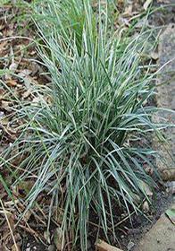 Ophiopogon japonicus 'Silver Mist'