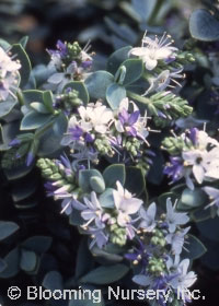 Hebe x pimeloides 'Clear Skies'