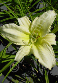 Hemerocallis 'Ice Carnival'
