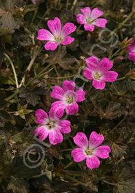 Geranium x oxonianum 'Orkney Cherry'