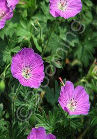 Geranium wallichianum 'Pink Penny'