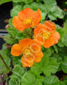 Geum 'Queen of Orange'