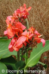 Canna 'City of Portland'