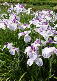 Iris ensata 'Fortune'