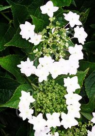 Hydrangea macrophylla var. serrata 'Fuji Waterfall'