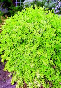 Tanacetum vulgare 'Isla Gold'