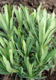 Euphorbia characias 'Bruce's Dwarf'