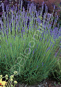 Lavandula angustifolia 'Violet Intrigue'