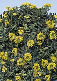 Alyssum montanum 'Luna'