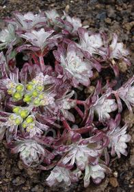 Sedum spathulifolium 'Carnea'