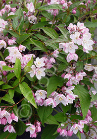 Deutzia x 'Kalmiiflora'