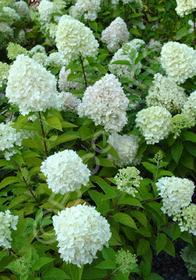 Hydrangea paniculata 'Limelight™'