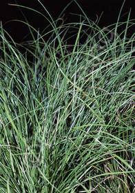 Carex flagellifera 'Kiwi'