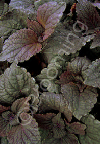 Coleus 'Dark Chocolate'