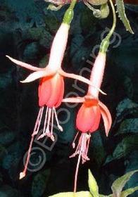 Fuchsia 'Joan Cooper'